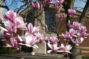 Magnolien vor St. Maria Königin